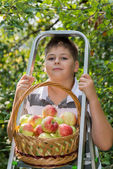 Boy with a basket of apples and  ladder — Stock Photo