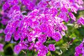 Pink Phlox flower - genus of flowering herbaceous plants — Stock Photo