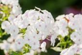 White Phlox flower - genus of flowering herbaceous plants — Stock Photo