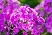 Pink Phlox flower - genus of flowering herbaceous plants — Stock Photo