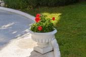 Red Geraniums in pots at  garden — Stock Photo