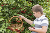 Boy collects berries of viburnum in the garden — Stock Photo