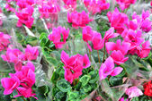 Close up of pink cyclamen flowers with their ornamental leaves cultivated as indoor houseplants at a nursery — Stockfoto