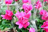 Close up of pink cyclamen flowers with their ornamental leaves cultivated as indoor houseplants at a nursery — 图库照片
