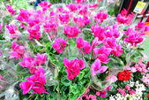 Close up of pink cyclamen flowers with their ornamental leaves cultivated as indoor houseplants at a nursery — Stock Photo