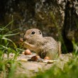European ground squirell  — Stock Photo #52276515