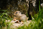 European ground squirell  — Stock Photo