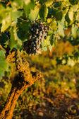 Ripe Wine Grapes — Stock Photo