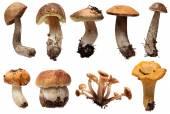 Wild Foraged Mushroom selection isolated.  Boletus Edulis mushrooms over white background — Stock Photo