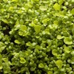 Seedlings. lot of young fresh green plants. Macro. — Stock Photo #71504989