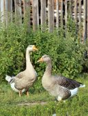 Geese on the farm.. Shooting outdoors. Rustic theme. — Stock Photo