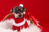 Tamed pincher dog in Christmas basket — Stock Photo