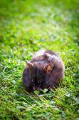 Hamster eating grass — Stock Photo