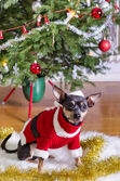 Small pincher in Xmas clothes — Stock Photo