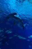Hammerhead shark in vertical view — Stock Photo