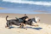 Small dogs running on the beach — Stock Photo