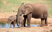 African Elephant Youngsters — Stock Photo