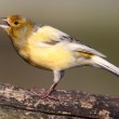 ������, ������: Singing Canary