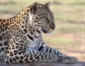 Male Leopard — Stock Photo