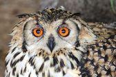 Cape Eagle Owl Bird — Foto Stock