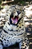 Snarling Leopard with Huge Teeth — Stock Photo