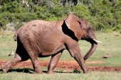 African Elephant Striding Out — Stock Photo