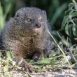 Grey Mongoose — Stock Photo #67144279