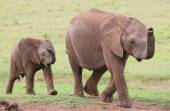 Young African Elephant Friends — Stock Photo