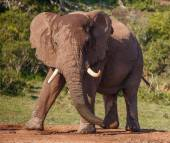 Male African Elephant with Large Tusks — Stock Photo