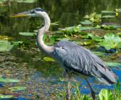 Great Blue Heron (Ardea herodias) Walking at Waters Edge — Stock Photo