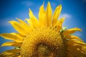 Sunflowers Field. Bright Blue Sky — Stockfoto
