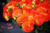 Beautiful orange dahlias flowers — Stock Photo