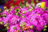 Beautiful pink dahlias flowers — Foto de Stock