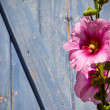 Beautiful pink hollyhock flower against blue wooden planks backg — Stock Photo #54238533