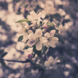 Blooming apple tree branches — Stock Photo #66790527