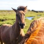 caballos en un campo verde — Foto de Stock   #68481357
