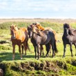 Horses in a field of Iceland — Stock Photo #69989491