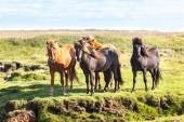 Horses in a field of Iceland — Stock Photo
