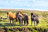 Horses in a green field — Stock Photo