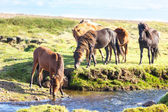 Horses in a green field of Iceland — Stock Photo