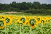 Kırsal alanda ayçiçeği. — Stok fotoğraf
