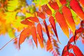 Autumn leaves on tree — Stock Photo