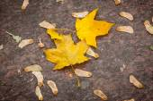 Beautiful yellow autumnal maple leaves — Stock Photo