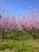 Blooming peach trees in spring — Stock Photo