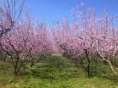 Pfirsich-Bäume blüht in Frühling — Stockfoto