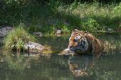 Tiger taking a bath — Stock Photo