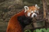 Red panda — Stok fotoğraf