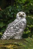 White snow owl — Stock Photo