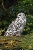 White snow owl — Stock Photo