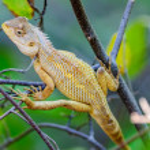 Oriental Garden Lizard waiting on a tree branch — Stock Photo #58509377